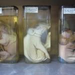 Проспект музея кафедры  патологической анатомии и гистологии