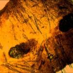 Зрелый членик лентеца широкого1