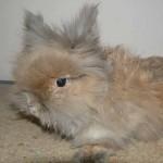 Декоративный кролик. Взрослое животное весит до 1,5 кг
