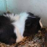 Перуанская свинка. Отличается мягкой длинной шерстью.