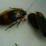 Южноамериканский лесной таракан. Очень любит салат и фрукты.
