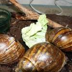 Гигантская улитка ахатина. Самый большой наземный моллюск.