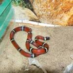 Молочная змея Стюарта. Классический пример мимикрии