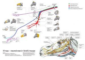 лицевой нерв (схема, на примере лошади) – скачать