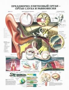орган слуха и равновесия