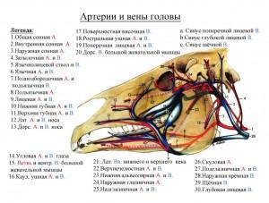 сосуды головы лошади