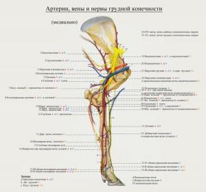 сосуды и нервы грудной конечности коровы