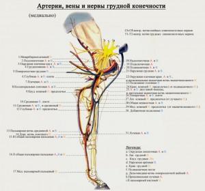 сосуды и нервы грудной конечности лошади