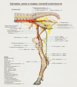 сосуды и нервы тазовой конечности коровы