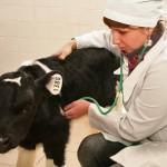 в клинике кафедры внутренних болезней животных