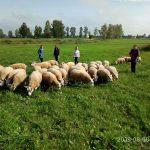 На ГПП «Витебское племпредприятие». Овцы породы Тексель