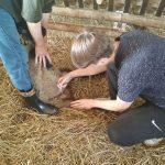 Студенты 2 курса участвуют в витаминизации молодняка овец, принадлежащих ГПП «Витебское племпредприятие»