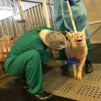 Помощь производству на свиноводческих комплексах